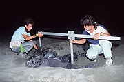 biologists Laura Sarti (left) and assistant measure carapace width of nesting leatherback sea turtle, Dermochelys coriacea, Mexiquillo Beach, Mexico ( Eastern Pacific )