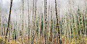 Dense stand of red alder (Alnus rubra) trees, Boulder River Trail, Mount Baker-Snoqualmie National Forest, Washington.
