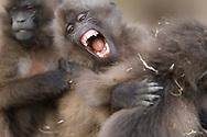 Junge Dscheladas (Theropithecus gelada) beim Spielen, Simien Nationalpark, Debark, Region Amhara, Äthiopien<br /> <br /> Young geladas (Theropithecus gelada) playing, Simien National Park, Debark, Amhara Region, Ethiopia
