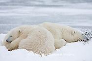 01874-107.14 Polar Bears (Ursus maritimus) mother and cub Churchill, MB Canada