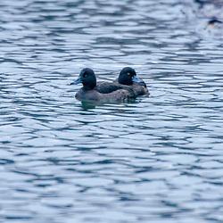 """""""Zarro-negrinha (Aythya fuligula) fotografado na Alemanha, na Unição Européia - Europa. Registro feito em 2016.<br /> ⠀<br /> <br /> ENGLISH: Tufted duck photographed in Germany, in European Union - Europe. Picture made in 2016."""""""
