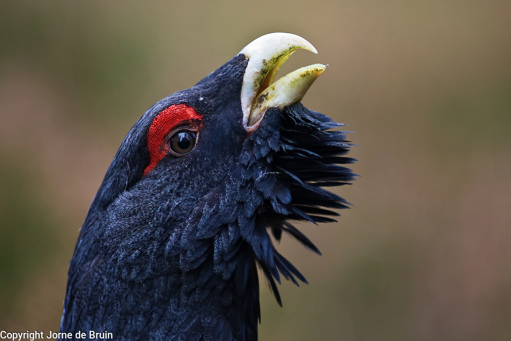 A Capercaillie is defending his territory in the forest in the Cairngorms National Park in Scotland