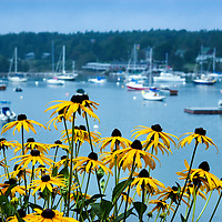 Black Eyed Susans overlooking Christmas Cove, South Bristol, Maine