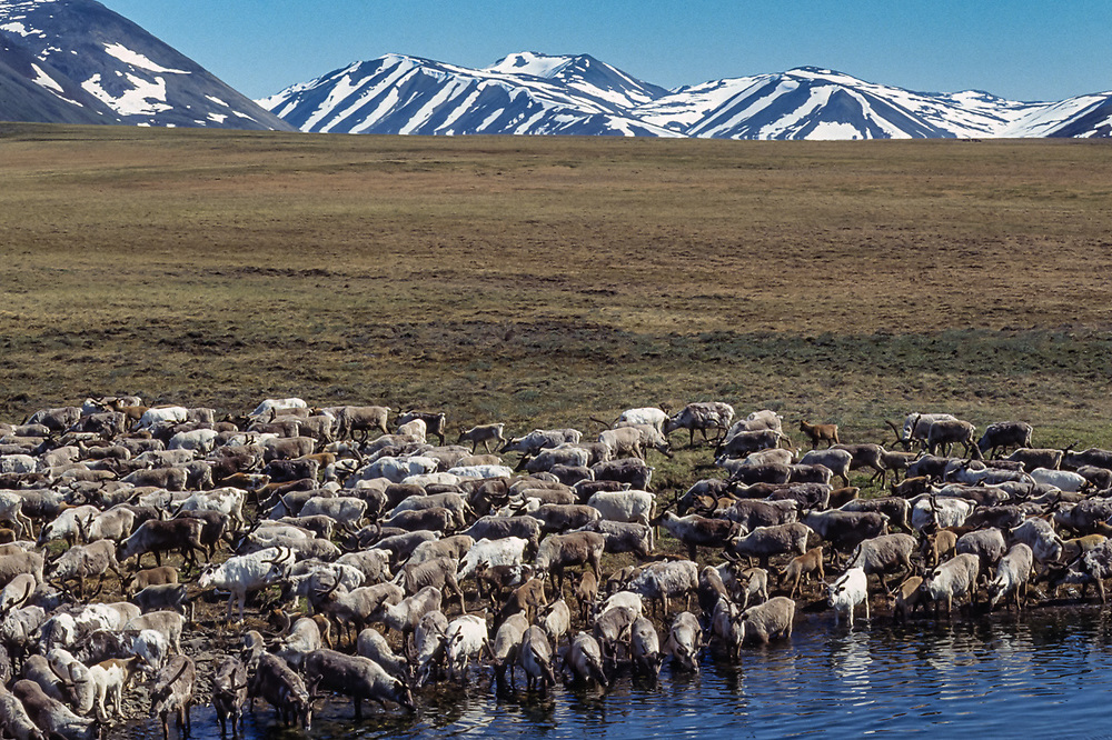 Reindeer grazing, Chukchi reindeer camp, Val 'karvaam Valley, Chukotsk Peninsula, Northeast  Russia