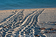 nesting tracks of Australian flatback sea turtle (Natator depressus), endemic to Australia and southern New Guinea, Western Australia ( Indian Ocean )