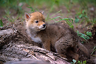 Coyote puppy looks over its shoulder as it explores on its own away from the den, [captive, controlled conditions] © David A. Ponton