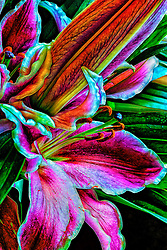 One of the most stunning and perhaps most celebrated lily varieties is the star gazer lily . Known for its striking blooms and heavenly scent, the stargazer is a fantastic choice for a number of occasions. Delicate, bold, and fragrant all at once.