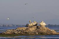 Dalmatian Pelican-colony (Pelecanus crispus). The Karavasta Lagoons National Park, Albania June 2009