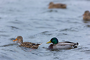 Duck and drake - Mallard, Anas platyrhynchos at Welney Wetland Centre, Norfolk, UK
