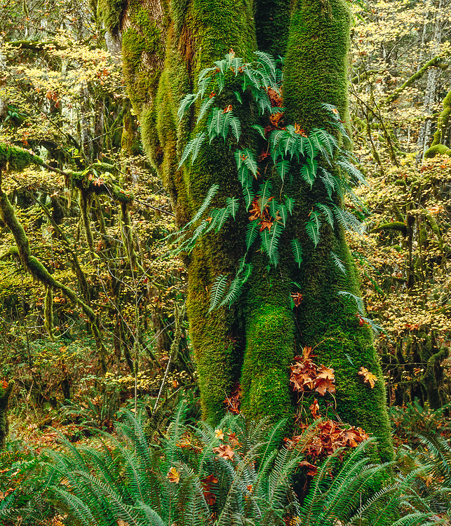 Bigleaf maple trees (Acer macrophyllum) with moss and licorice ferns, overcast light, October, Elwha River Valley, Olympic National Park, Washington, USA