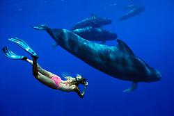 diver and short-finned pilot whale, Globicephala macrorhynchus, Hawaii, Pacific Ocean, MR