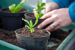 Potting on a Schlumbergia - Christmas cactus