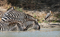 Grant's Zebras, Equus quagga boehmi, drink from a pond in Tarangire National Park, Tanzania. A Yellow-billed Stork, Mycteria ibis, stands in front of them.