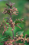 AREKK7 Red dead nettle lamium purpureum in flower close up
