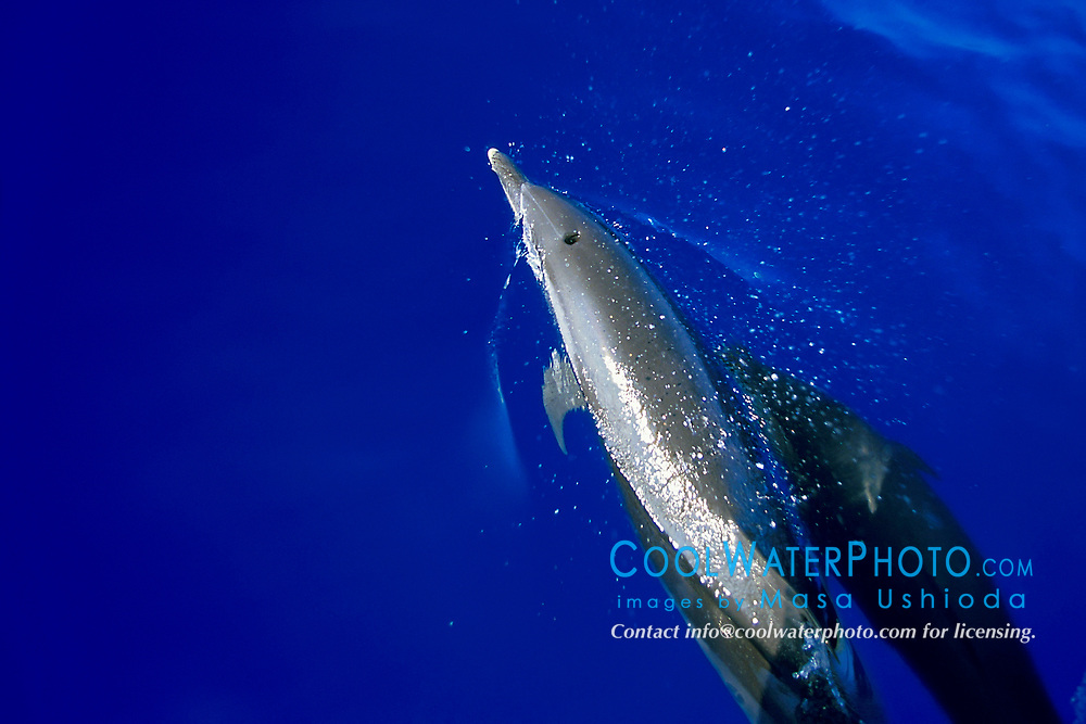 pantropical spotted dolphins, spouting, Stenella attenuata, off Kona Coast, Big Island, Hawaii, Pacific Ocean