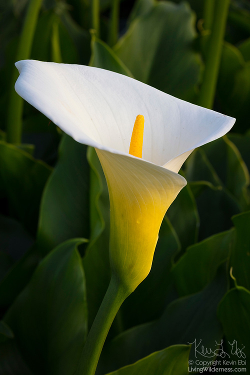 A Calla lily (Zantedeschia albomaculata) grows on a small bluff near Rodeo Beach in the Golden Gate National Recreation Area near San Francisco, California. The flowering perennial is native to southern Africa, but has now been introduced to all continents except Antarctica.