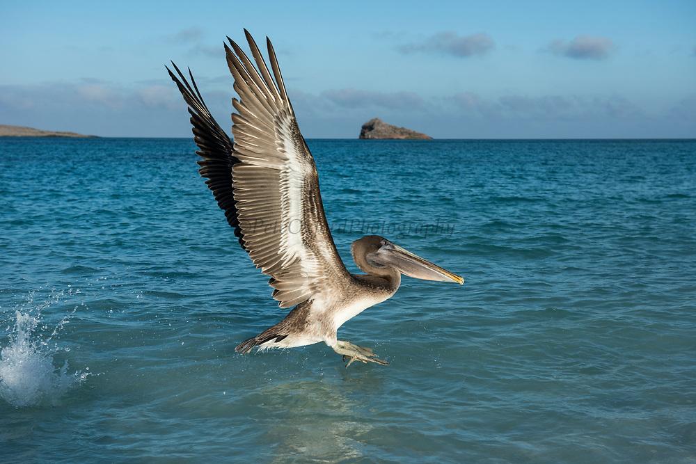 Brown Pelican (Pelecanus occidentalis urinator)<br /> Española Island<br /> Galapagos<br /> Ecuador,  South America