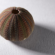 This is the test, or hard interior shell, of a Diadema setosum sea urchin. Found and photographed in Kannoura, Toyo-cho, Kochi-ken, Shikoku, Japan.