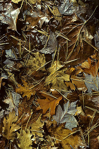 Fallen Red Maple, (Acer rubrum), Red Oak, (Quercus rubra) And pine needles. Wisconsin.