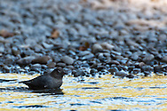 A young Dipper in the Queets River, Olympic National Park