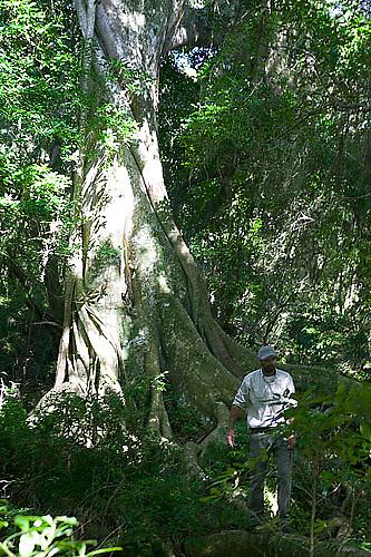 South America, Uruguay, Rocha, Quebrada de los Higuerones, Area Protegida Laguna Negra, Higueron, Ficus luschnatiana, strangler fig, Nestor