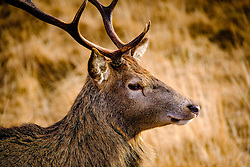 Red deer in Glen Etive, Scotland in winter.<br /> <br /> (c) Andrew Wilson | Edinburgh Elite media
