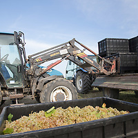 Machine loads containers with the harvested grape onto a truck at the Hilltop Wine House near Neszmely, Hungary on Sept. 13, 2018. ATTILA VOLGYI
