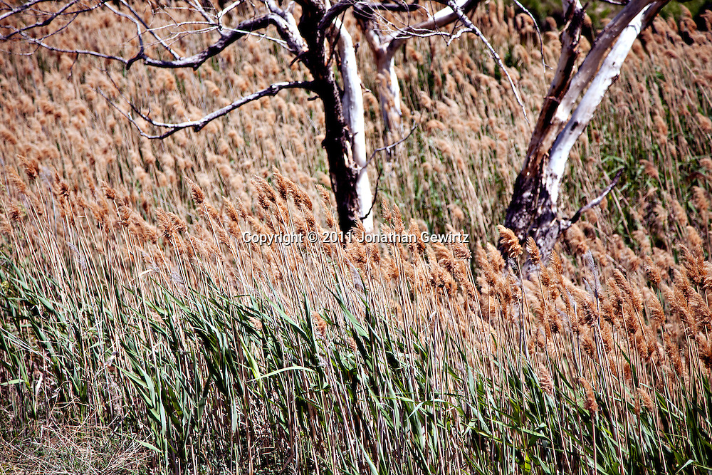 Tall grasses and dead trees fill a dry river bed in Colorado. WATERMARKS WILL NOT APPEAR ON PRINTS OR LICENSED IMAGES.