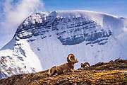 Bighorn rams on Wilcox Ridge under Mount Athabasca, Jasper National Park, Alberta, Canada