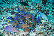 hunting coalition of blue goatfish or gold-saddle goatfish, Parupeneus cyclostomus, with bluefin jacks or omilu or bluefin trevally, Caranx melampygus, Kohanaiki, North Kona, Hawaii ( the Big Island ), USA ( Central Pacific Ocean ); one jack is in a dark color phase, possibly signaling aggression or dominance