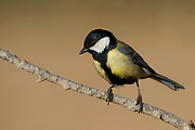 great tit (Parus major) perched on a branch. Photographed in Israel in December