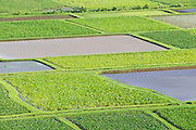 Aerial view of taro fields near Hanalei, on the island of Kauai, Hawaii.