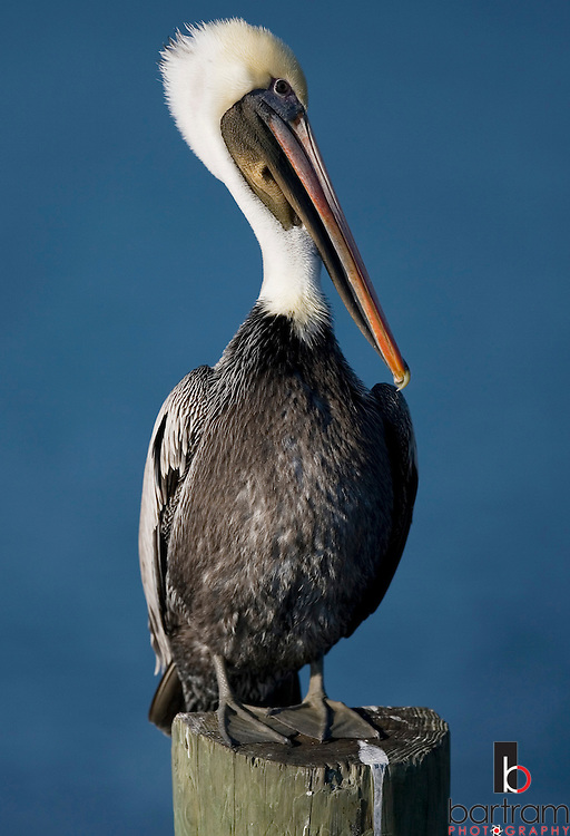 KEVIN BARTRAM/The Daily News.A pelican grooms itself as it sits on a piling in Offatt's Bayou near 61st Street in Galveston on Thursday, Dec. 22, 2005.