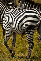 Burchell's Zebra in the Masai Mara National Park, Kenya