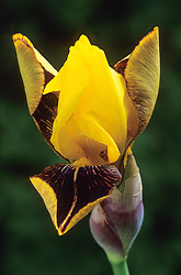 Iris 'Rajah'