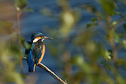 Female kingfisher on a branch at Shapwick Heath in Somerset. This kingfisher put on a display for over fifteen minutes, fishing, then returning to its watching post. It was just a shame, there wasn't more of a gap in between the branches.
