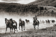 A wrangler with is lariat moving horses from the corrals to the feed pastures in Grand Teton National Park.