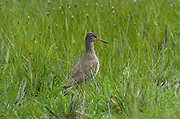 Redshank, Tringa totanus, Elmley National Nature Reserve, UK, grazing marsh, adult, spring.