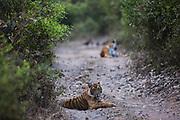 Two endangered Bengal tigers (Panthera tigris tigris) in the wild laying on a road, Ranthambhore National Park, Rajasthan, India,