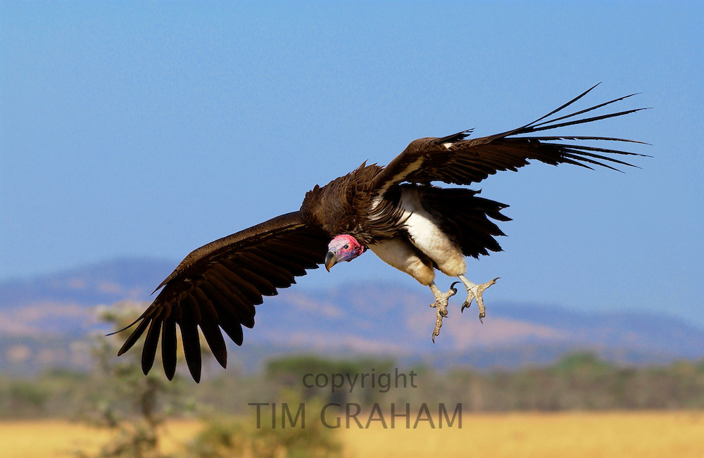 Lappet Faced Vulture,  Grumeti, Tanzania, East Africa
