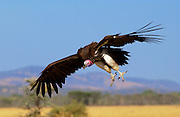Lappet Faced Vulture,  Grumeti, Tanzania, East Africa