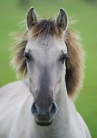 Konik horse, portrait of stallion. Oostvaardersplassen, Netherlands. Mission: Oostervaardersplassen, Netherlands, June 2009.