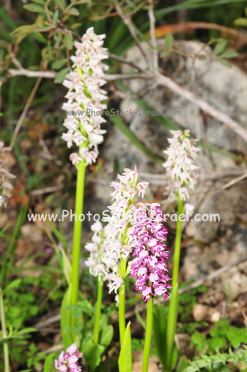 Israel, wild orchid Orchis saccata