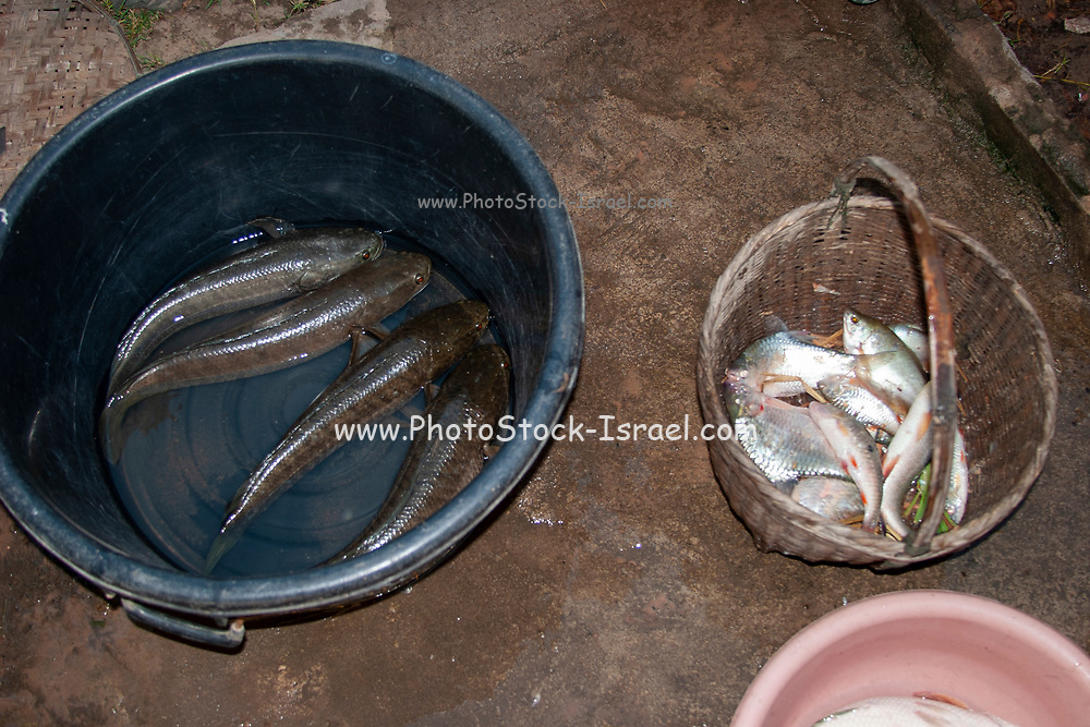 Fish caught in a natural fish pond  by a young  Thai man are placed in a straw basket and a bucket of water