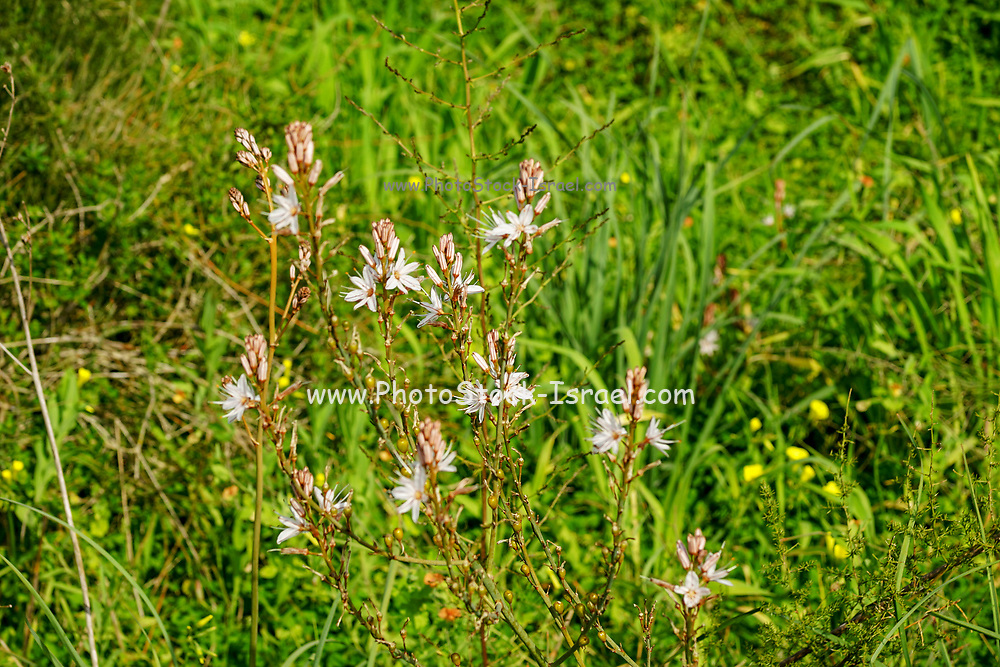 Asphodelus ramosus, also known as branched asphodel, is a perennial herb in the Asparagales order. Photographed in Poleg River Nature Reserve - Yakum Park, Near Natanya, Israel