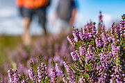 Ling heather (Calluna vulgaris), the most common type here, has very tiny pink flowers generally blooming in mid- to late-August. Today we toured North York Moors National Park from Grosmont to Robin Hood's Bay on foot and via van, plus Whitby on the Esk River, in North Yorkshire county, England, United Kingdom, Europe. England Coast to Coast hike with Wilderness Travel, day 13 of 14. We walked a rural path through bracken, purple blooming heather moors, and farmland before descending cliffs to the beach and village of Robin Hood's Bay. We dipped our boots into the North Sea, having completed our journey via foot and car from the Irish Sea over two weeks. Lunch at Wainwrights Bar at the Bay Hotel. Visit spectacular Whitby Abbey and the seaside fishing port of Whitby. Overnight at Best Western Forest & Vale Hotel, in Pickering, North Yorkshire. [This image, commissioned by Wilderness Travel, is not available to any other agency providing group travel in the UK, but may otherwise be licensable from Tom Dempsey – please inquire at PhotoSeek.com.]