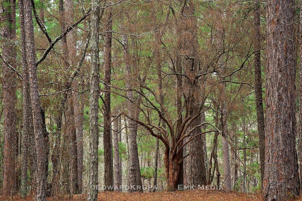 South Carolina Forest