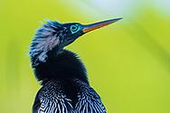 Anhinga (Anhinga anhinga--breeding plumage male), Pond Apple Park, Sanibel Island, Florida