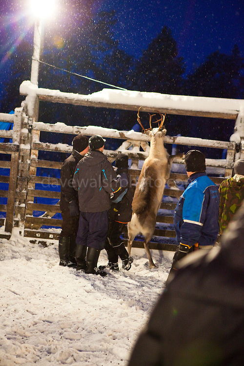 A reindeer makes a break for freedom at a Reindeer roundup at Vuomaselkä, Lapland, where semi-domesticated deer are sorted and seperated for breeding, slaughter, returned to their owners, injected for parasites, or released back into the forest.