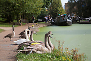 Swans and cygnets on Regents Canal waterway in East London, UK.